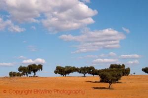 The typical oak trees in a field in Alentejo